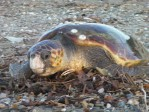 Anamur Meeresschildkrten, Caretta caretta